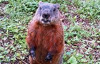 Groundhog at York