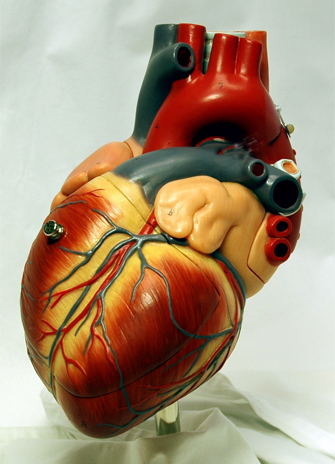 A model of the heart