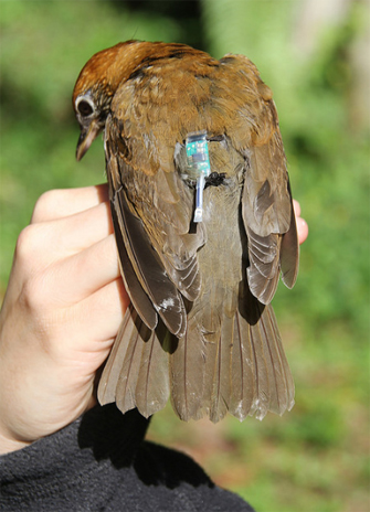 A wood thrush with a geolocator