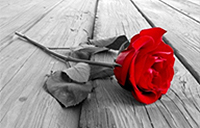 A photo of a red rose on the ground