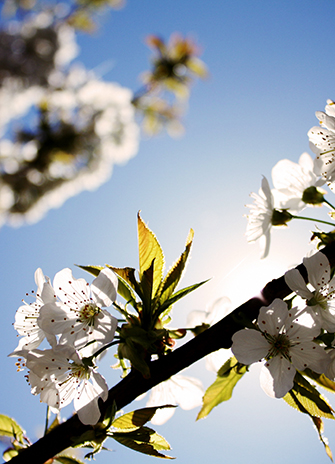 White cherry blossoms by Sarah-Geissberge