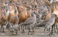 Shorebirds gathered on a beach
