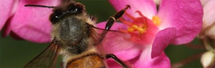 Featured image shows an Asian bee on a pink orchid