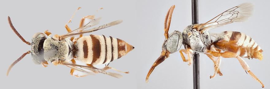 cuckoo bees female male