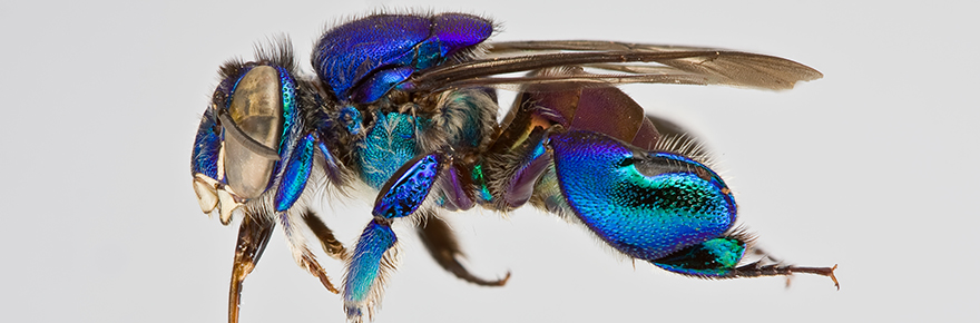 Sample from the collection. Euglossa analis, an orchid bee from Brazil. Image reproduced with permission.