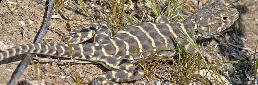 blunt nosed leopard lizard wikimedia commons