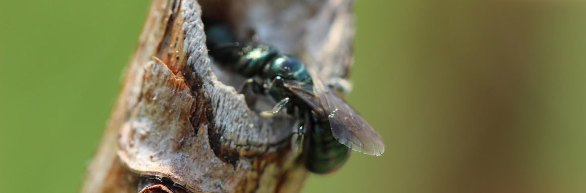 Small carpenter bees