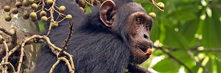 Chimp in the forest