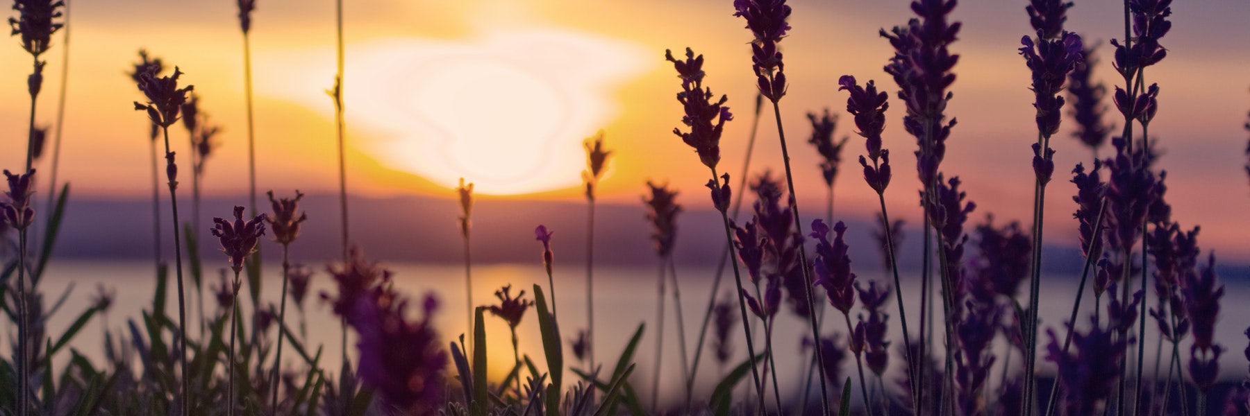 A field of flowers at sunset