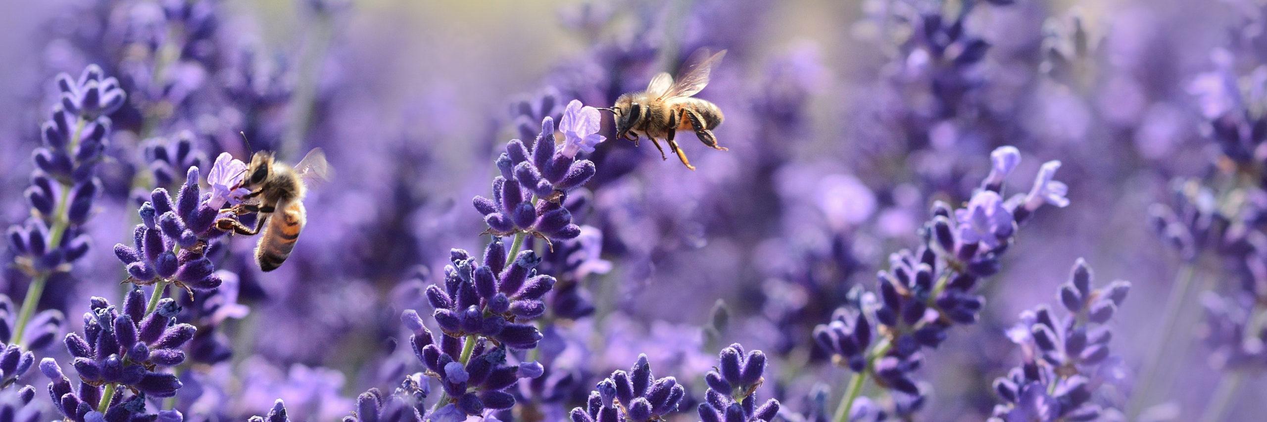 Two honey bees on lavender plants